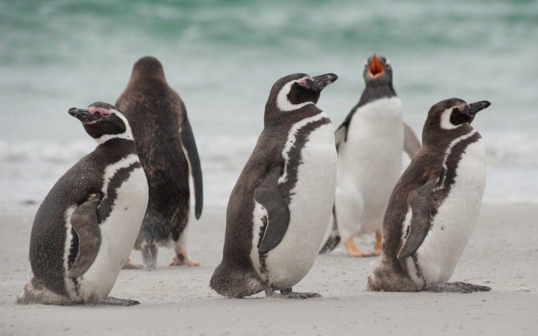 Penguins Santa Magdalena Punta Arenas